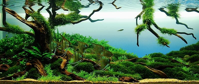 Cichlid-Forum • Angelfish Aquarium Photos??