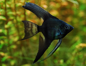 Black Lace, Angelfish Google, Freshwater Fish, Aquarium ...