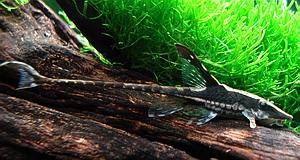 whiptail catfish